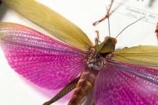 Tropidacris dux & Titanacris albipes