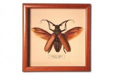 Enoplocerus armillatus (female)