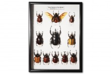 Giant Beetles of the World (Dynastinae)