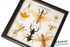 Mantidae of the World