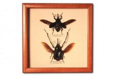 Rhynchophorus schach & Cyrtotrachelus buqueti