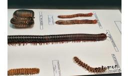 Millipede - Diplodae
