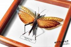 Tropidacris dux (female)