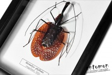 Mormolyce phyllodes (male)