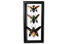 Megaloxanta bicolor & Chrysochroa