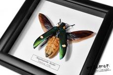 Megaloxatha bicolor
