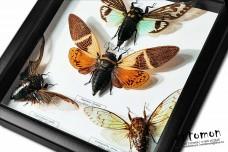 Певчие цикады