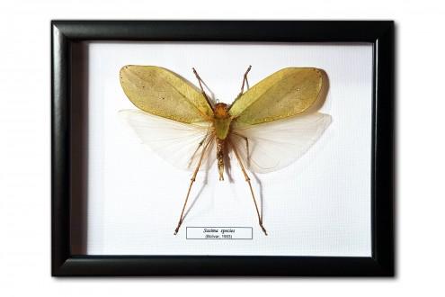 Sasima spesies (male)
