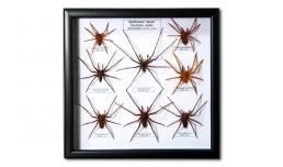 Hunstman spiders
