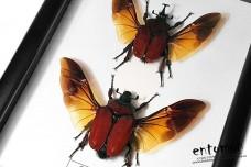 Fornasinius russus (pair)
