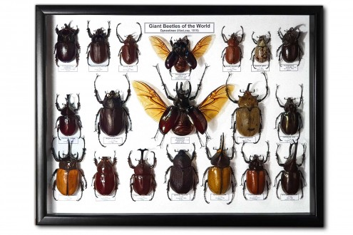 Giant beetles of the World