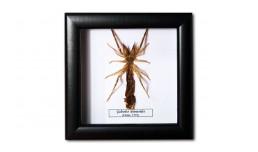 Galeodes araneoides (female)