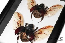 Heliocopris antenor (pair)