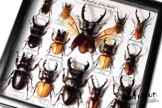 Stag Beetles of the World