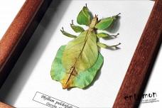 Phyllium pulchrifolium (female)