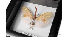 Pyrops oculata (male)