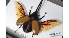 Dynastes hercules (male)