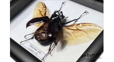 Chalcosoma atlas (male)