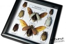 Mellolontinae Beetles