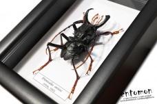 Prionocalus cacicus (male)