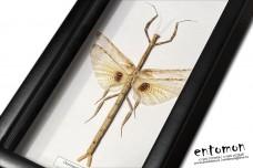 Oestomantis bacillaris (female)