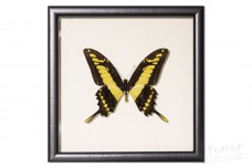Papilio thoas cyniras
