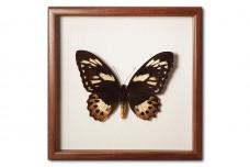 Ornithoptera priamus poseidon (female)