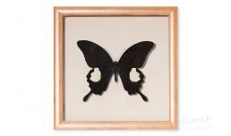 Papilio sataspes