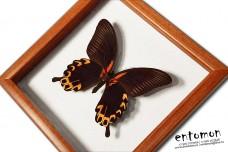 Papilio deiphobus deiphobus
