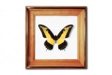 Papilio androgeus