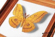 Antheraea yamamai