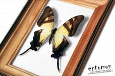 Eurytides columbus