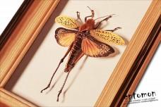 Acrididae sp.